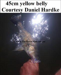 45cm yellow belly - Courtesy Daniel Hardke  - Fish Caught Using My Bait Worms