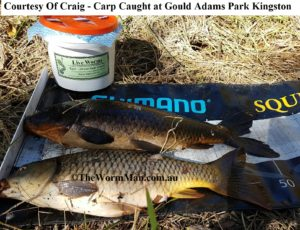 Carp Caught at Kingston - Courtesy Craig - Fish Caught Using My Bait Worms