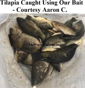 Tilapia - Courtesy Aaron C - Fish Caught Using My Bait Worms
