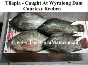 Fish Caught Using My Worms - Courtesy Reuben - Tilapia - Wyralong Dam - 1 wm
