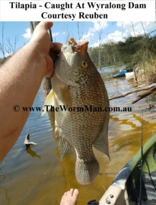 Fish Caught Using My Worms - Courtesy Reuben - Tilapia - Wyralong Dam - 2 wm