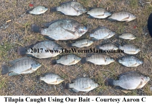 5   Tilapia Caught Using Our Bait - Courtesy Aaron C WM