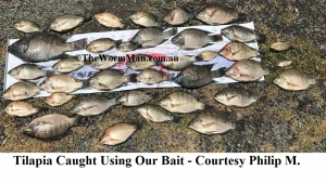 6   Tilapia Caught Using Our Bait - Courtesy Philip M. - 060217
